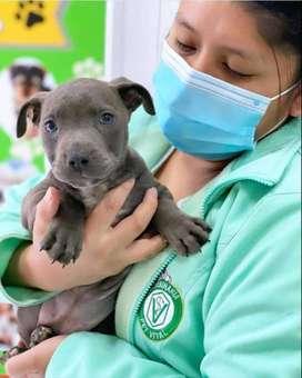 Legítimos cachorritos Pitbull en Pet Vital