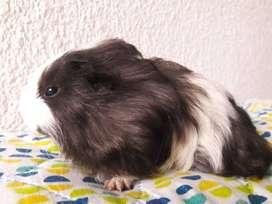 Cobayas Cuy conejillo de india Curí mascota sheltie/ angora pelo largo