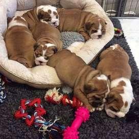 tiernos machos bulldog ingles 54 dias especiales compañeros