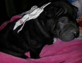 hermoso y lindo chachorrito negro