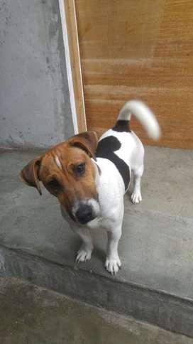 Jack Russell Terrier (servicio de Monta)