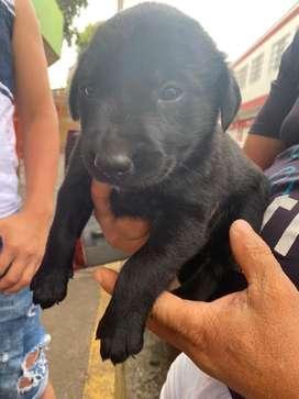 Labrador negro hermoso