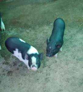 venta de Marranos Mini Pig.