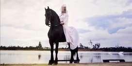 Vendo saltos de caballo frison puro importado con pasaporte registro y microchip