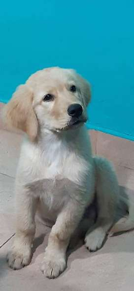 Vendo cachorro Golden retriever