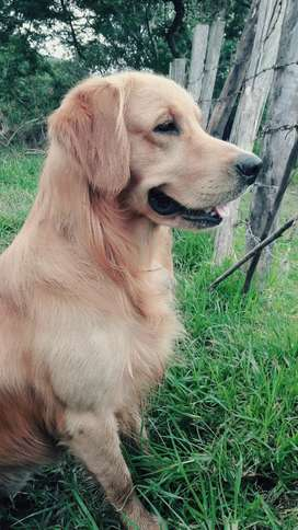 GOLDEN RETRIEVER  PARA MONTA  $120