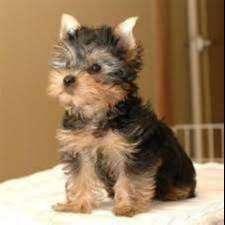 yorkshire terrier miniaturas de gran compañía con excelente trayectoria