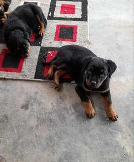 Cachorros rottweiler disponibles