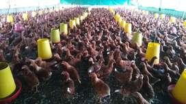 Pollas rojas Hi-line de 16 semanas
