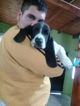 Vendo cachorro basst hound de 5 meses