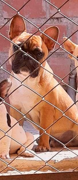 BULL DOG FRANCES MACHO DE 1 AÑO