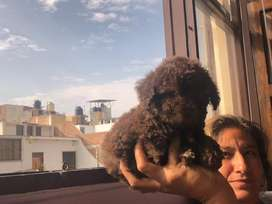 Bellos poodle minitoy