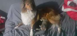 Cachorros rough collie