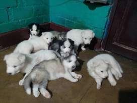 Hermosos cachorros Siberian Husky