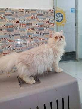cachorro macho de 4 mesesde raza persa