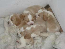 disponibles en venta beagle limon