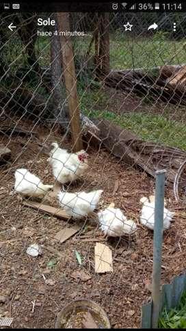 vendo 1 gallo y 4 gallinas sedosas del japon