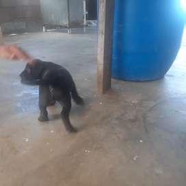 Se vende  cachorro pit bull stafor