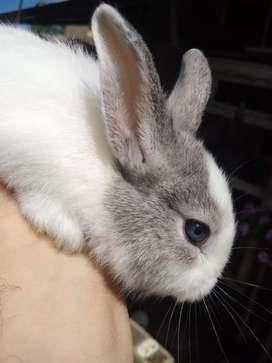 Vendo conejo ojos celestes.