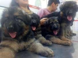Hermosas Cachorras Pastor Alemán