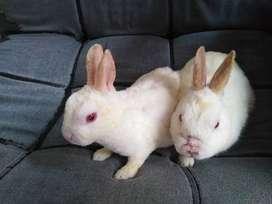 Vendo pareja de conejos, hembra y macho