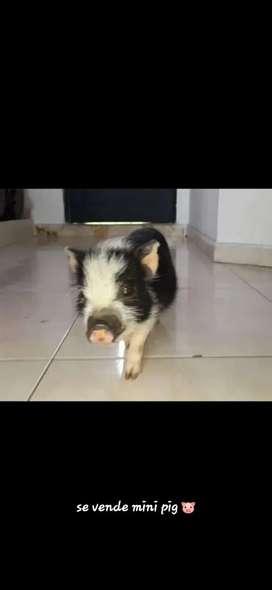 Vendo hermoso mini pig domestico blanco y negro