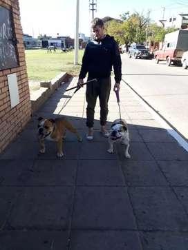 Bulldog frances macho adulto con fca