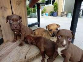 Vendo cachorritos pitboll