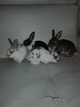 Venta de conejos raza Rex no botan pelos y no nesecitan vacunas  domicilios en cali gratis