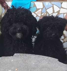 Vendo hermosos cachorros caniche toy