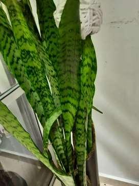 Hermosa planta