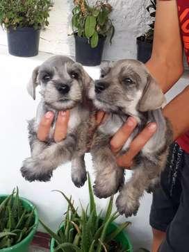 Disponibles perritos schnauzer machos y hembras
