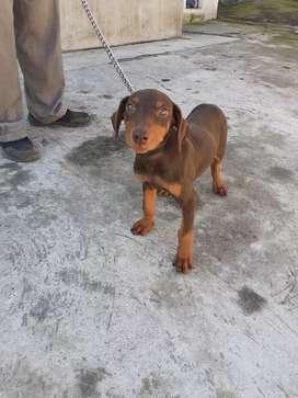 Hermosa cachorra Doberman gigante