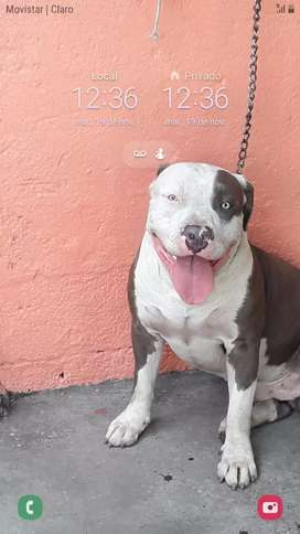 Vendo bonitos hembras pitbull