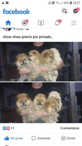 cachorros chow chow 55 diaas