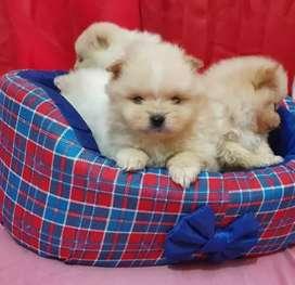 Cachorritos reminiaturas pomerania  lulu ambos colores