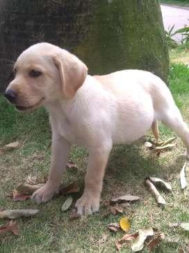 Labrador super dosil