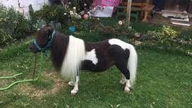 Venta de pajilla de reproductores ponys y burro pony