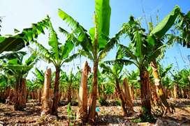 Bananera de 36 hectáreas en venta