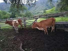 Vacas para ceba
