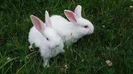 Pareja conejitos nueva zelanda mes y medio y conejo.cabeza leon 6 meses
