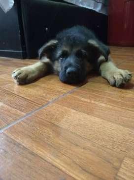 Cachorro pastor alemán, padres con pedegree
