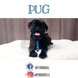 Hermoso Pug