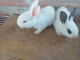 Se vende conejos red