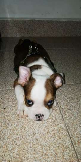 Hermosa bulldog ingles hembra