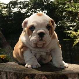 divertidos bulldog ingles