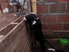 Cachorro american Bullys