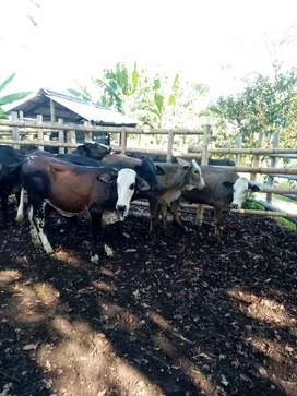 Vendo lote de 13 novillas tipo leche f1 27k. Promedio