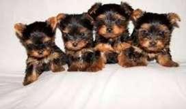 Cachorros Yorkshire terrier macho