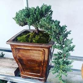 Lindos bonsái